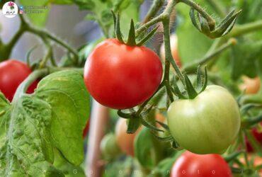 کاشت گوجه فرنگی در منزل