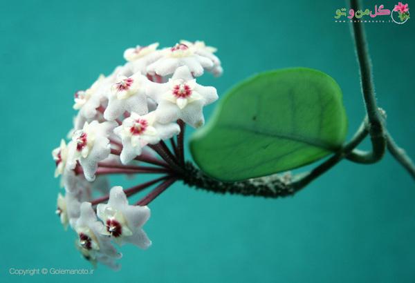 گلدهی گیاه هویا