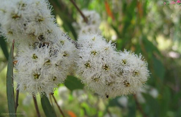 گل درخت اکالیپتوس