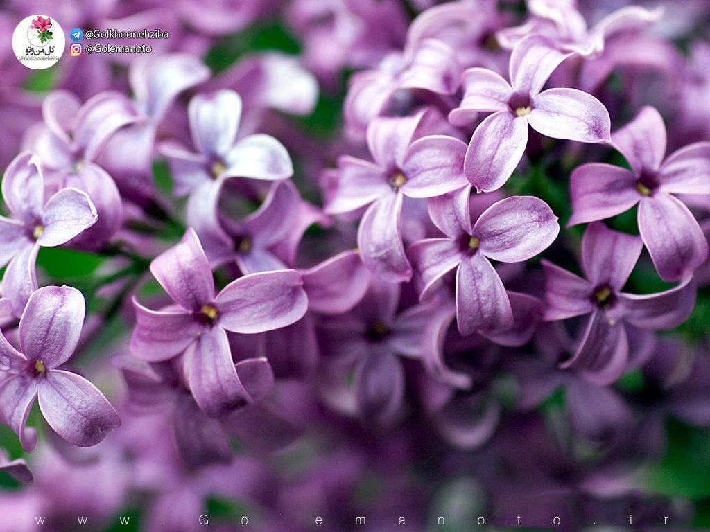 گل یاس و یاسمن