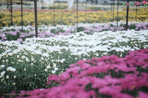 مزرعه گل داوودی