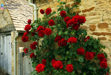 گل من و تو و گل رز