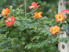 614bc34ab5c098d336423d9f2b3664a2 با 5 نکته برای گلدهی بیشتر گل رز آشنا شوید