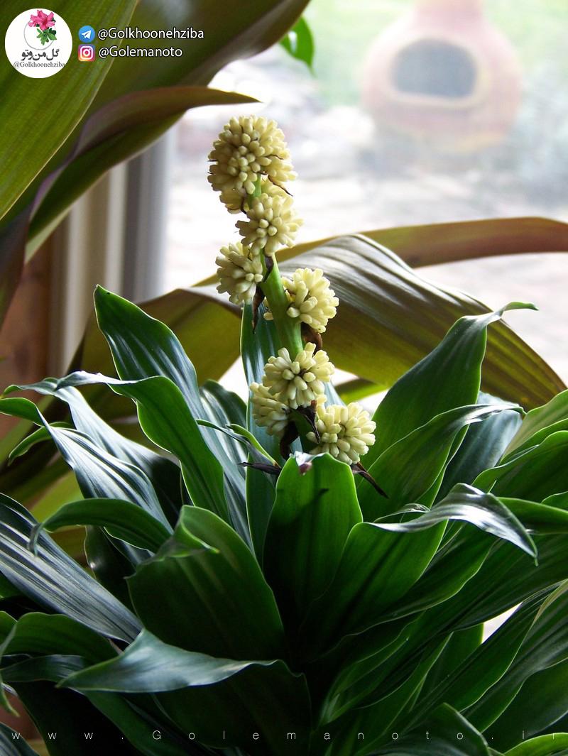 دراسنا کامپکت گل من و تو