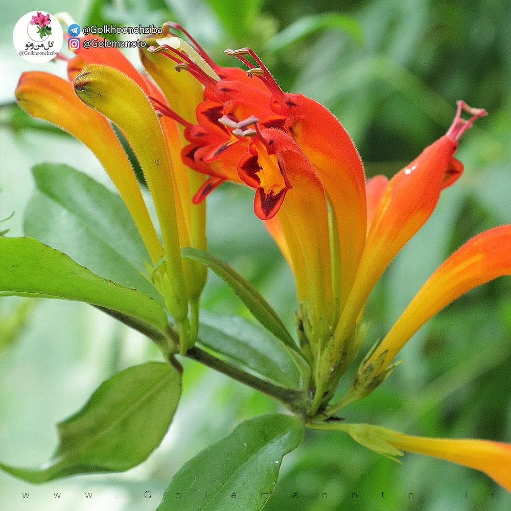 Aeschynanthus speciosus معرفی گل آشیانتوس یا Aeschyanthus Speciosus