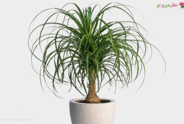 Elephent foot tree golemanoto گیاه لیندا کم توقع و زیبا مناسب برای محل کار