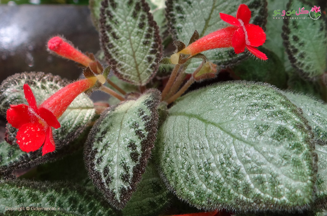 گل بنفشه آتشین - نگهداری اپیشیا