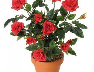 گل من و تو رز قرمز