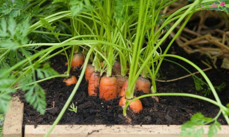 کاشت هویج در گلدان - کاشت هویج در خانه
