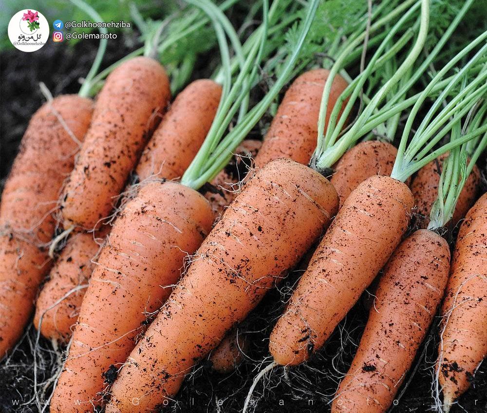 برداشت هویج