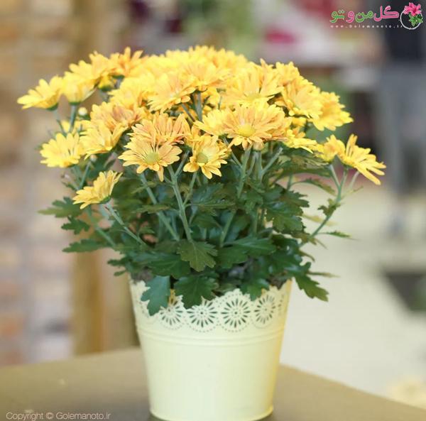 کاشت گل داوودی در گلدان