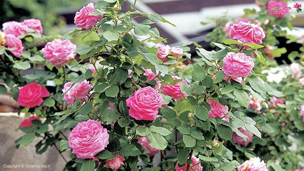 نکاتی برای گلدهی گل رز