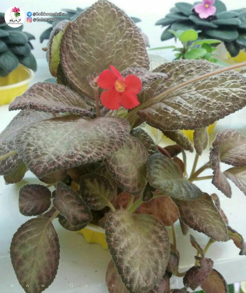 ایپیشیا و معرفی گل من و تو