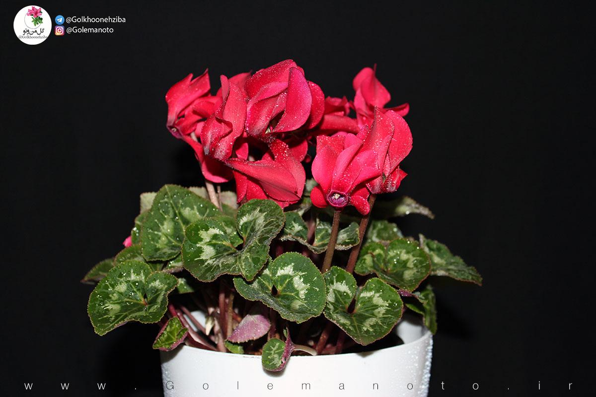 معرفی گل پاییزی سیکلامن