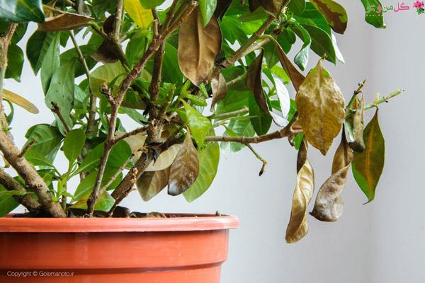 علت ریزش برگ گیاهان آپارتمانی