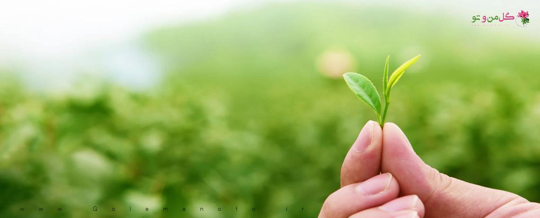 چای کیسه ای و کشاورزی