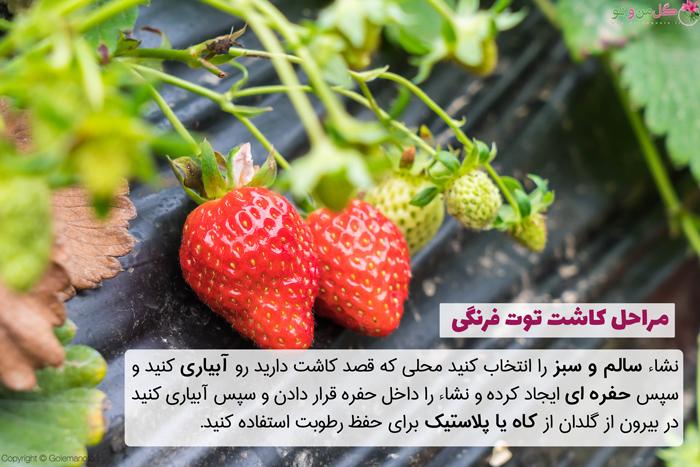 روش کاشت توت فرنگی در گلدان و باغچه