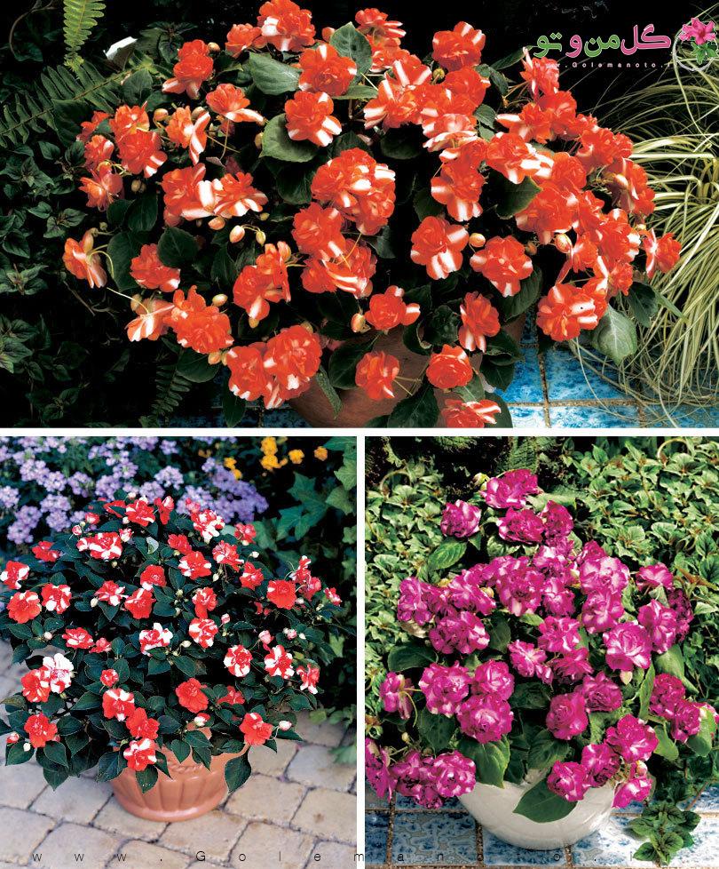 گل حنا - گل من و تو
