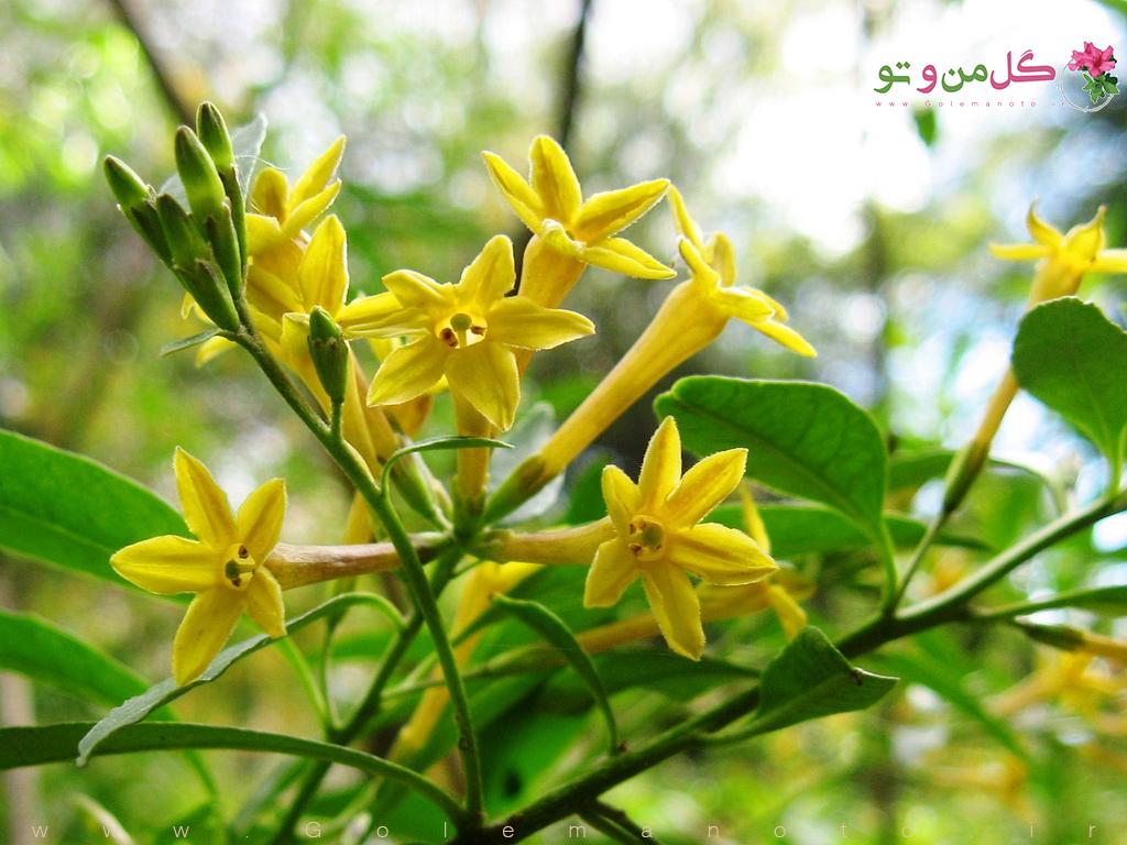 گلدهی گیاه محبوبه شب