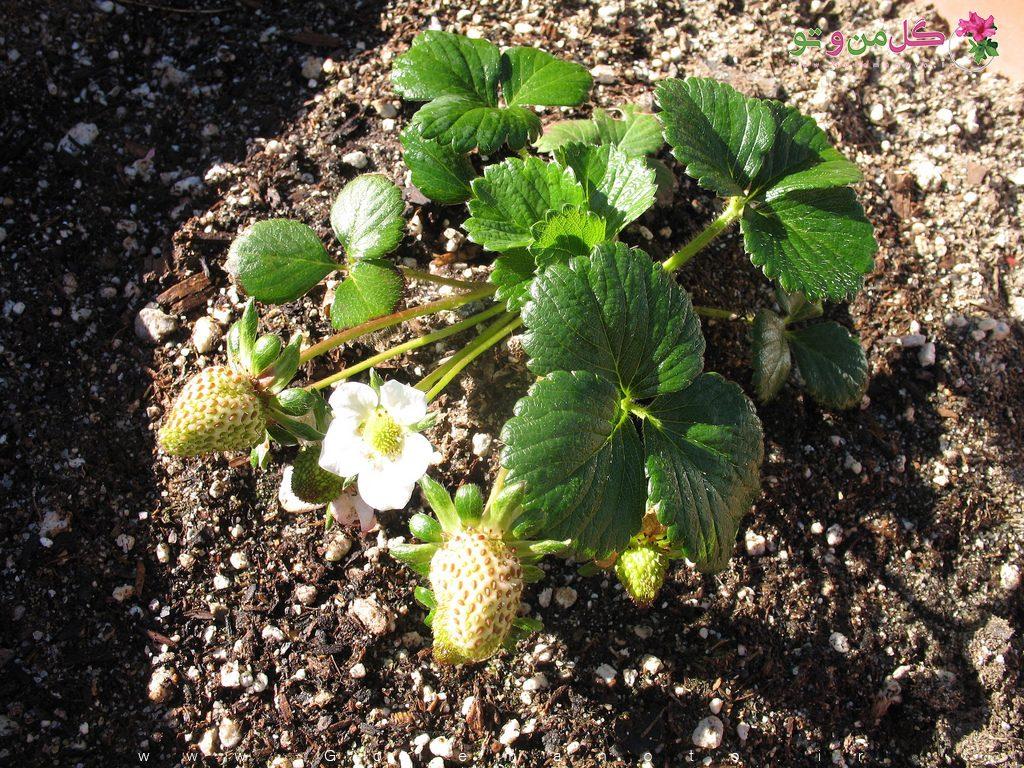 کاشت توت فرنگی در زمین
