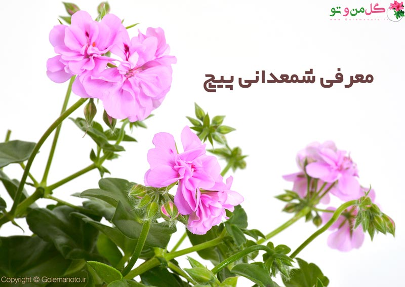 معرفی و نگهداری شمعدانی پیچ
