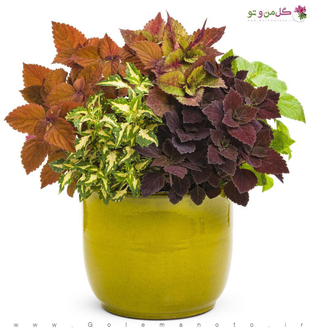 گل حسن یوسف - گل من و تو