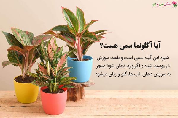 گیاه آگلونما سمی است