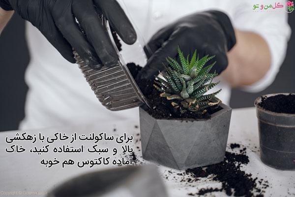 خاک مناسب ساکولنت