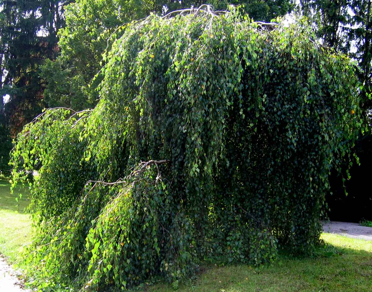درخت توس-گل من و تو