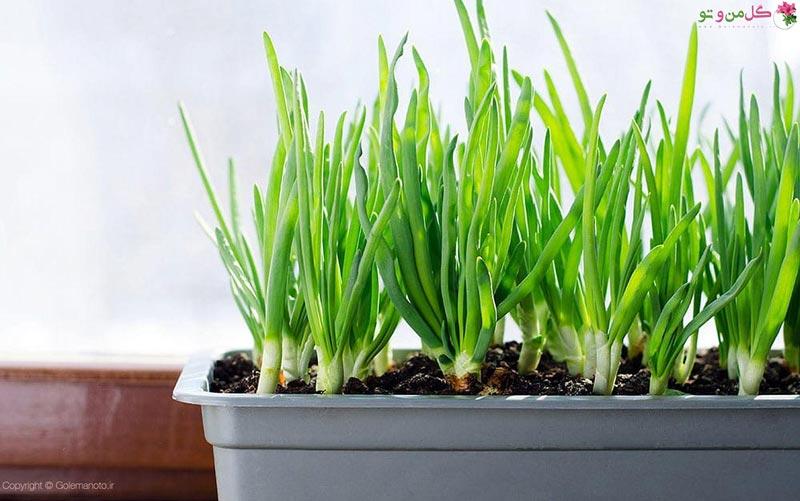 روش کاشت پیازچه در گلدان و باغچه