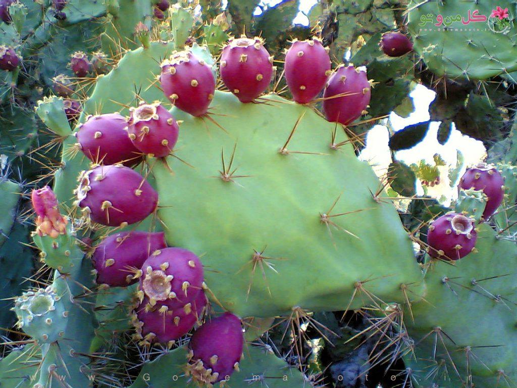 میوه کاکتوس - گل من و تو