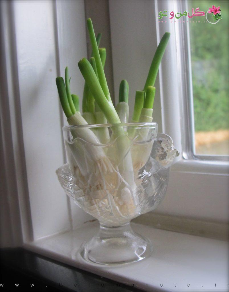 کاشت پیازچه - گل من و تو