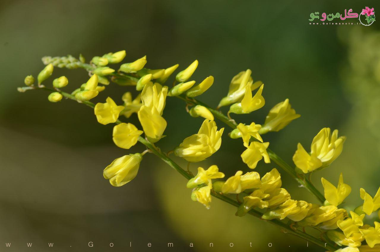 خواص درمانی یونجه- گل من و تو