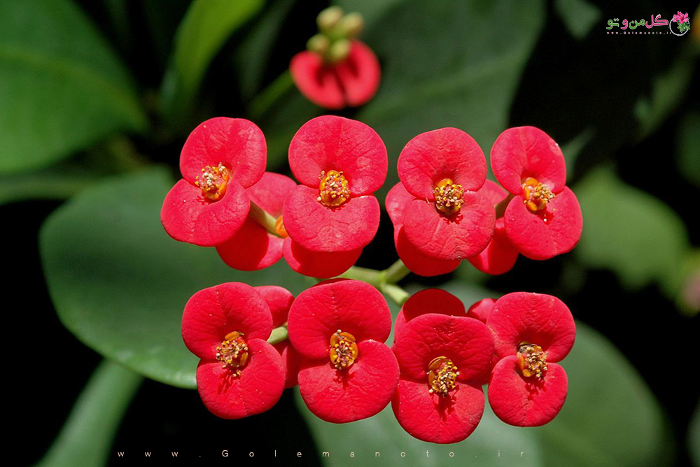 معرفی گل مرجان-افوربیا-گل من و تو