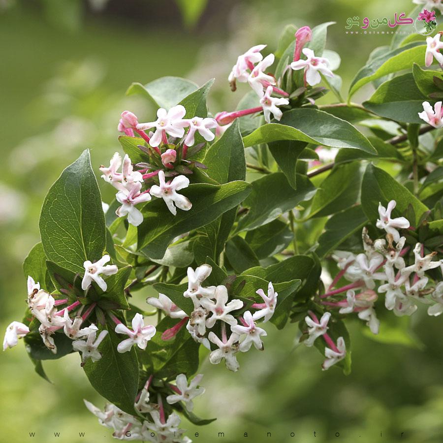 معرفی و آموزش درختچه آبلیه - گل من و تو
