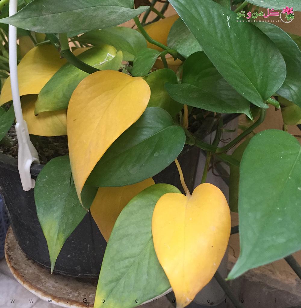 علت زرد شدن برگ-گل من و تو