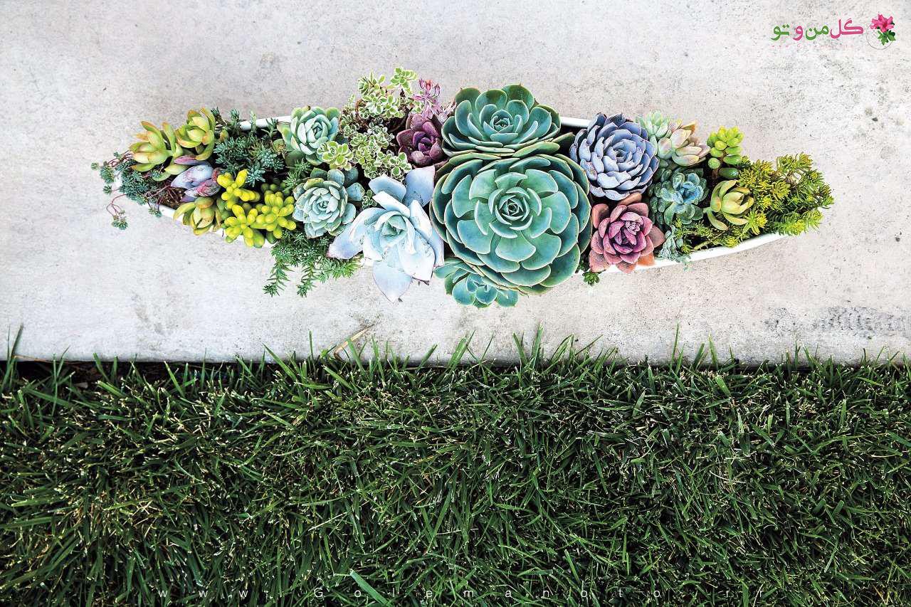 معرفی ساکولنت ها- گل من و تو
