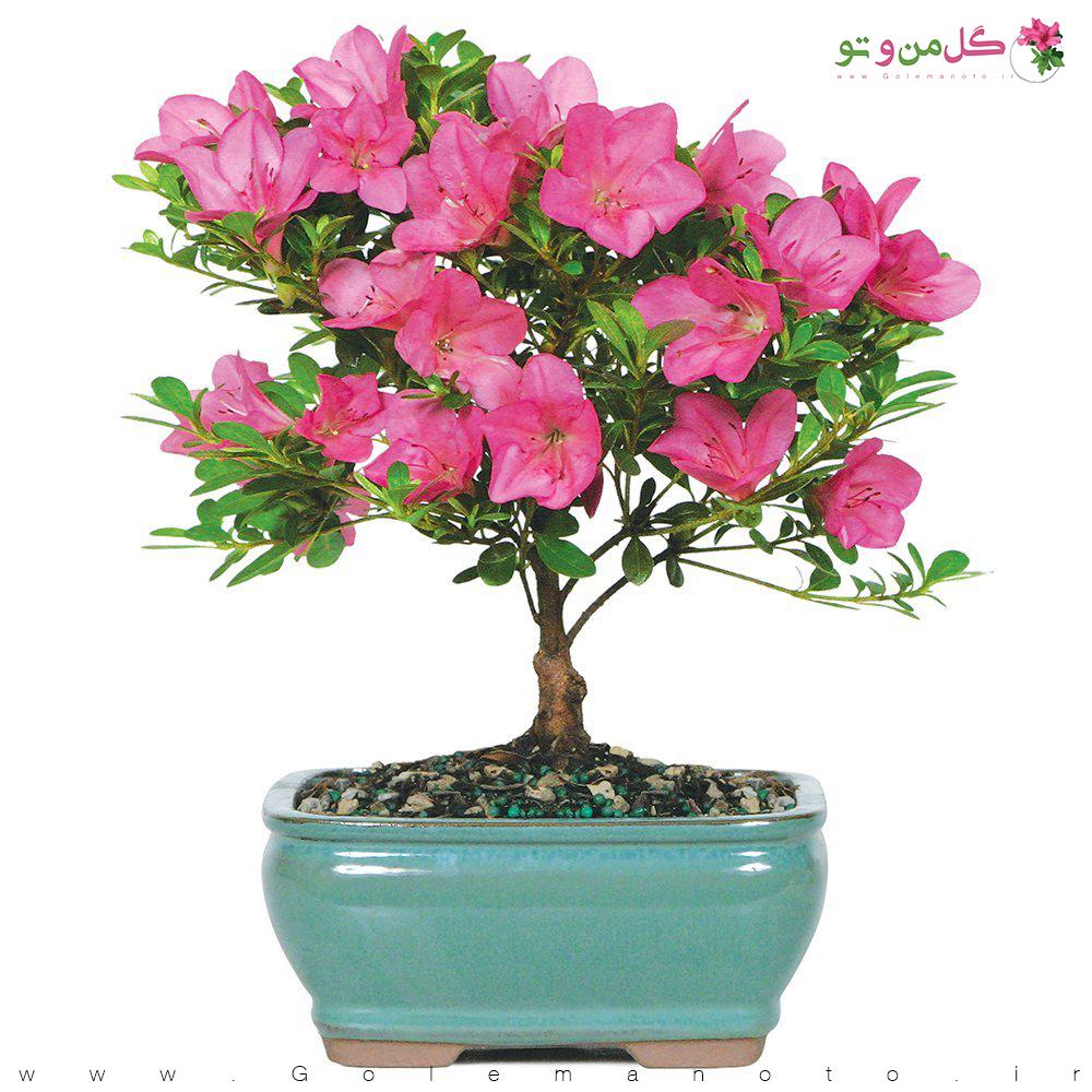 معرفی گل آزالیا - گل من و تو
