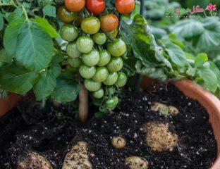 پیوند گوجه فرنگی و سیب زمینی