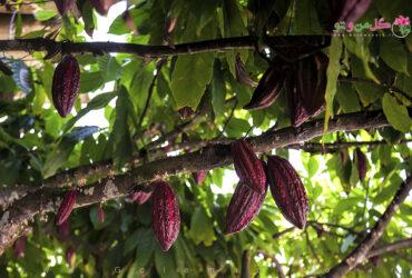 Cacao Pods معرفی درخت کاکائو