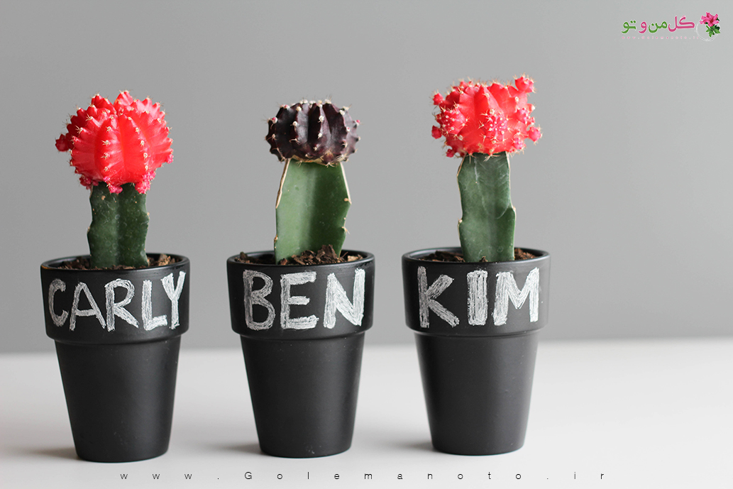 کاکتوس سریوس - گل من و تو
