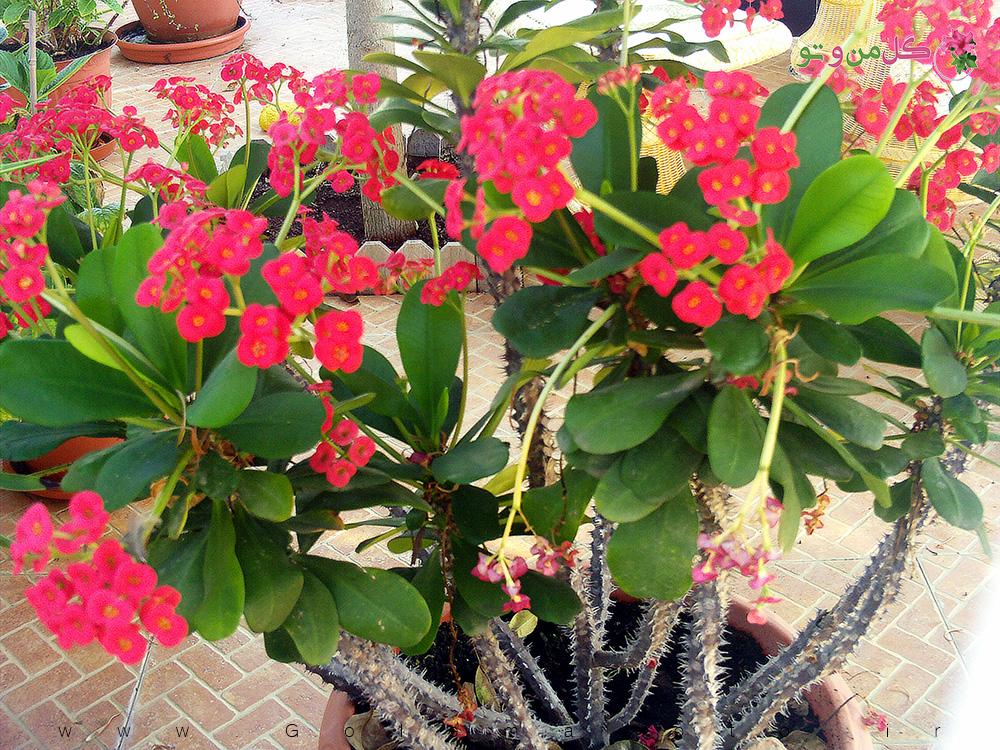 گل مرجان - افوربیا-گل من و تو