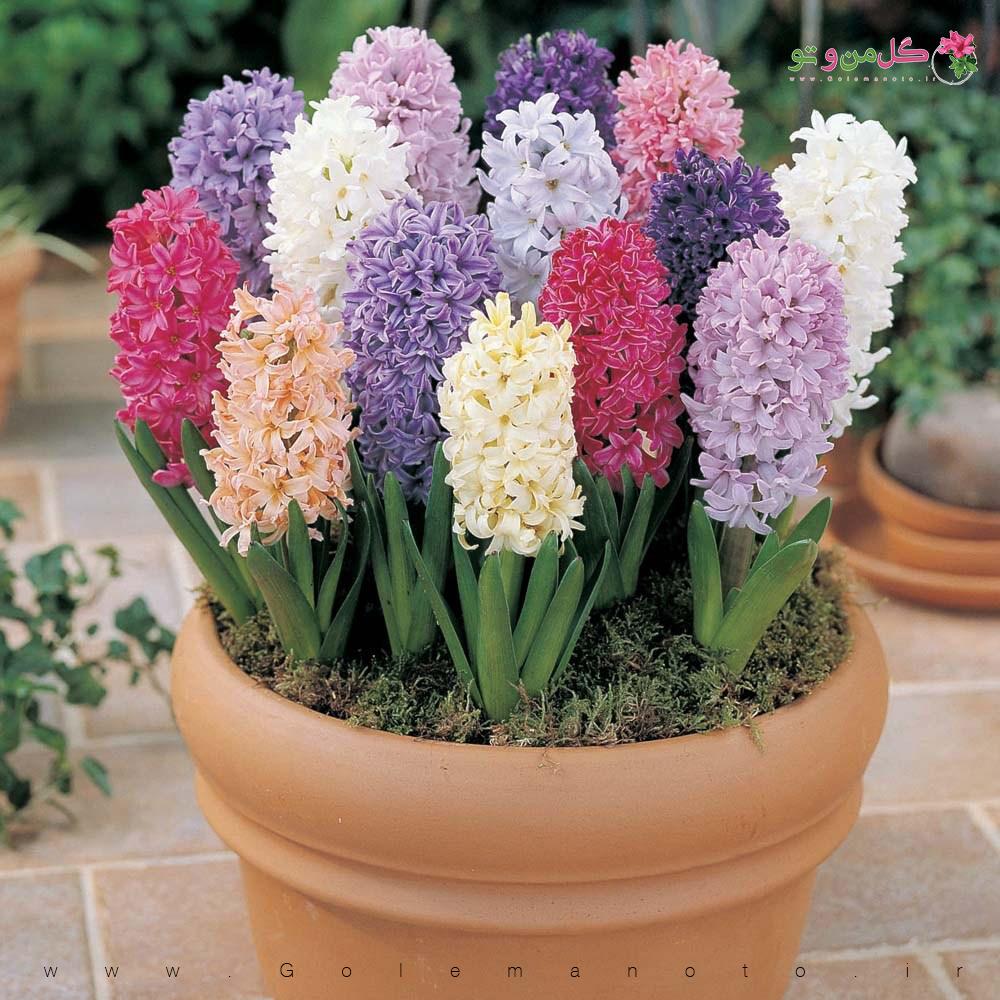 آموزش کاشت سنبل در خانه - گل من و تو