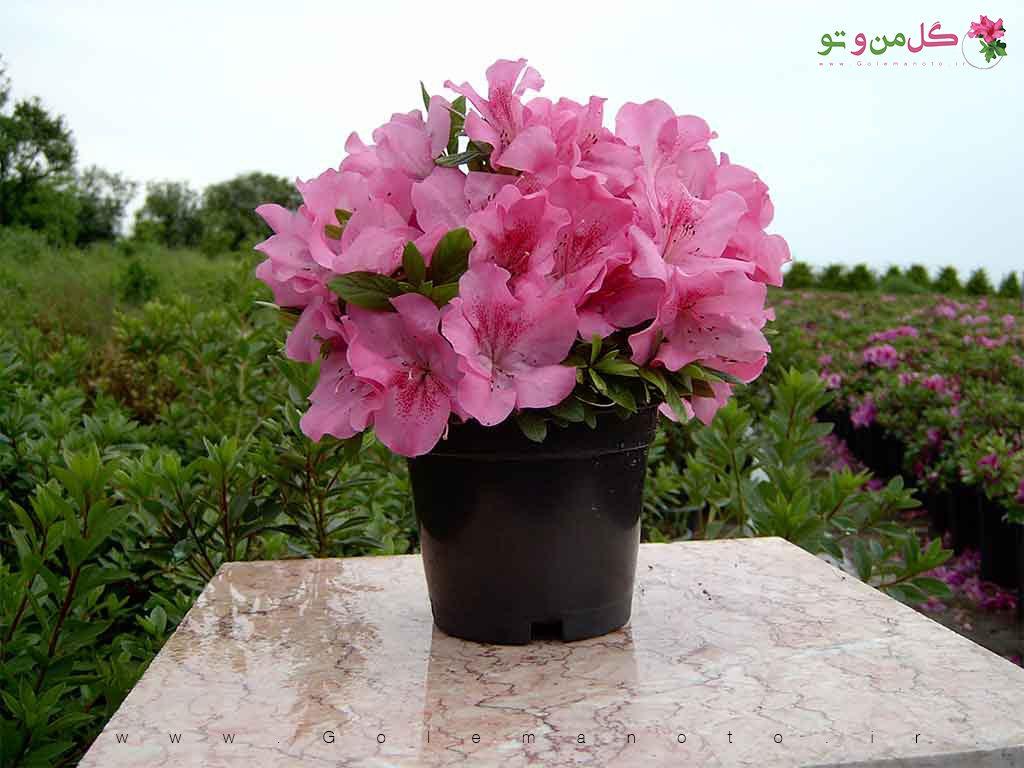 آزالیا - گل من و تو