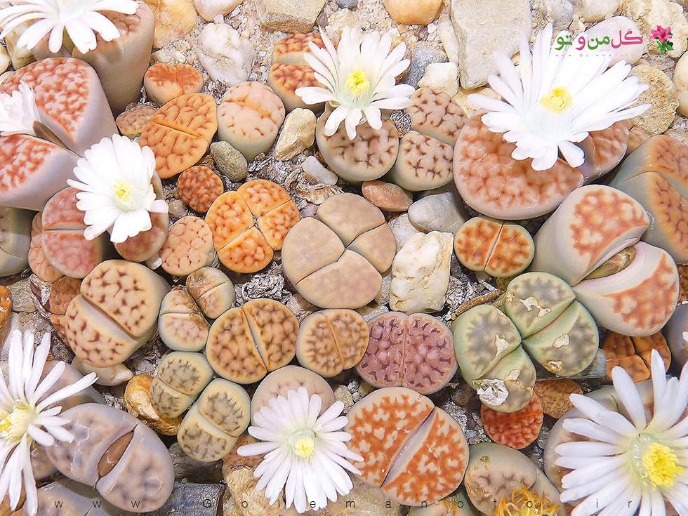 معرفی و نگهداری لیتوپس- گیاه صخره ای