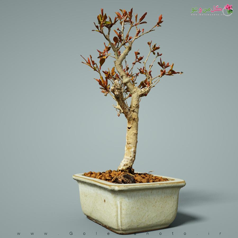 بونسای انار-انارزینتی گلنار - گل من و تو