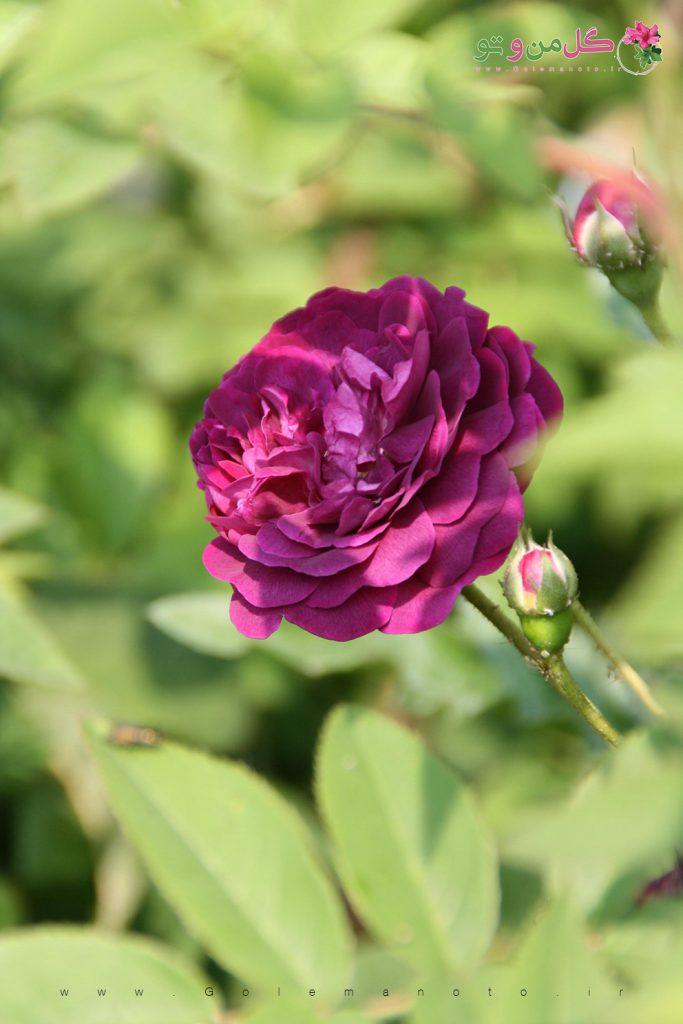 گل رز - گل من و تو
