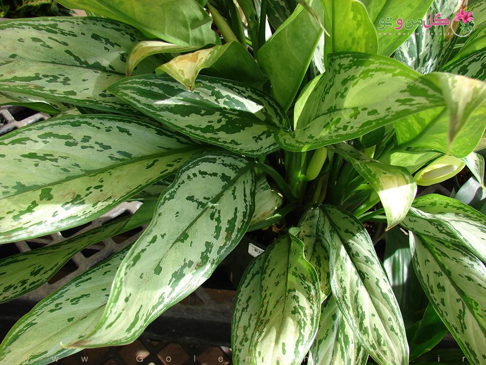 گیاه آگونما - گل من و تو