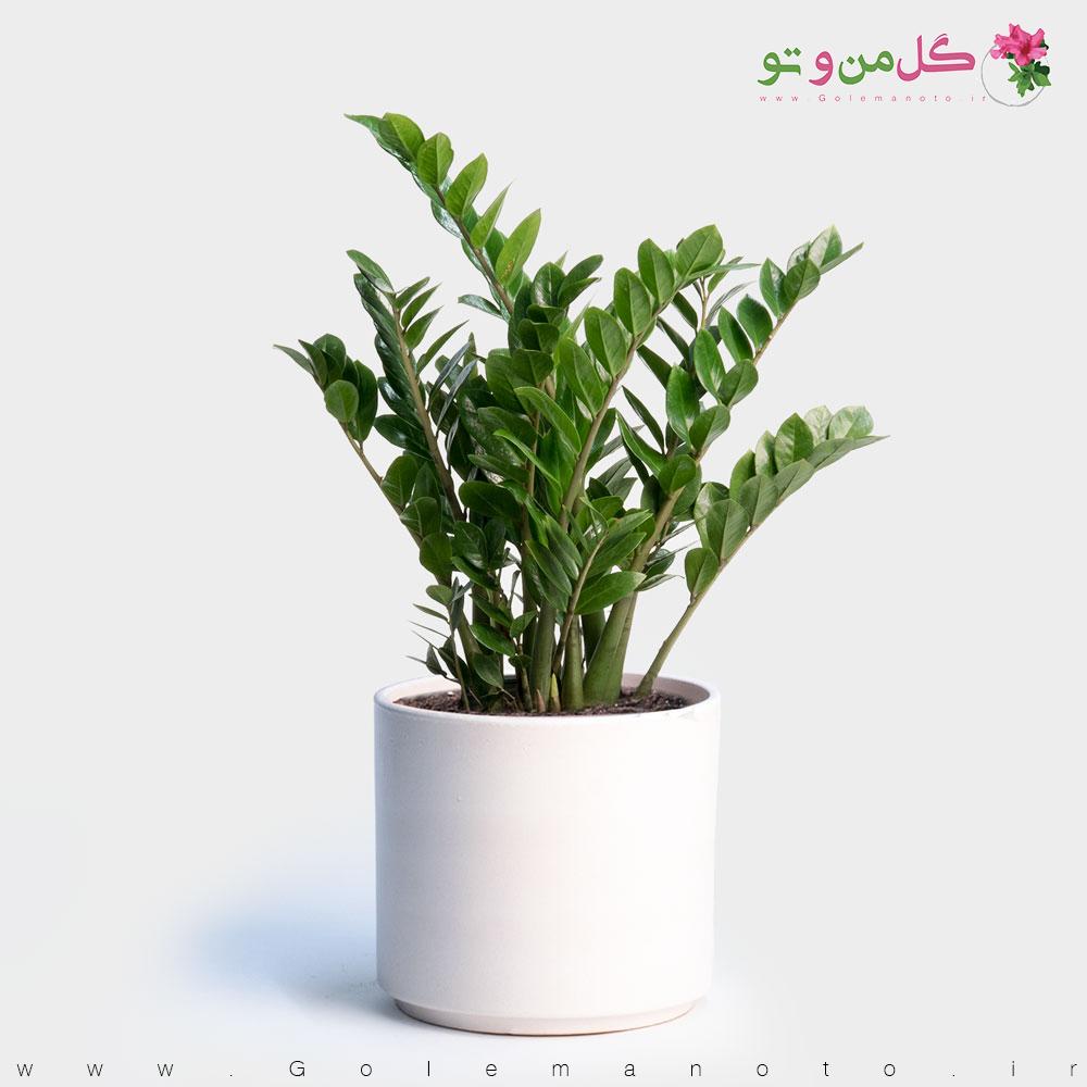 معرفی گل زاموفیلیا - گل من و تو