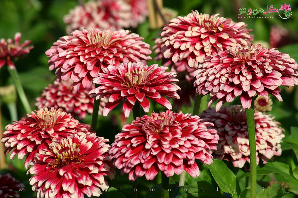 معرفی و آموزش گل آهار- گل من و تو